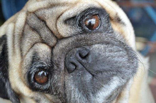 困った顔の犬